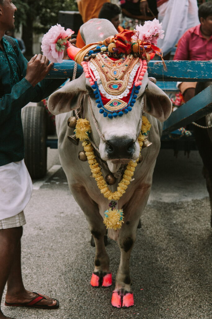 Showing an decorated cow